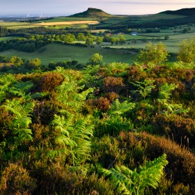 Sunlit ferns and heather with Roseberry Topping in the distance.