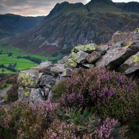blooming heather, Langdale Pikes